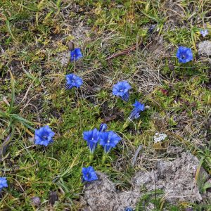 10-18-2014 Chelela pass 3800m - Alpine meadows with intensly colored flowers at 4000m in October